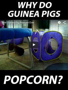 Why do guinea pigs popcorn?