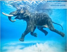 Quick fact:  #Elephants are capable of swimming twenty miles a day!   They use their trunks as natural #snorkels!  #absolutepools #swimmingpools #Dubai #UAE #poolservices #poolmaintainance #MyDubai