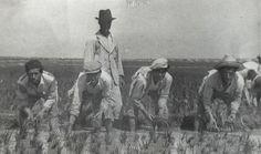 """El primer trabajo tras el trasplante era la replanta. Había muchas macoyas que no quedaban bien fijadas al suelo y el agua las hacía flotar. Les llamábamso """"barcos"""". La replanta consistía en colocarlas nuevamente en su sitioy tapar los posibles huecos dejados en la plantación."""