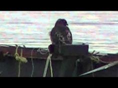 Hawks On Humber