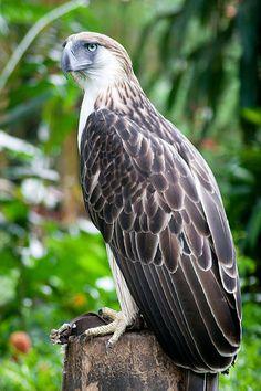 Philippine Serpent Eagle | Philippine Eagle Center, Davao City