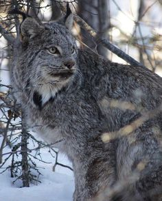 """""""Big Kat! Another image submission for a #ubc study examining the link between Canadian Lynx and climate change."""""""