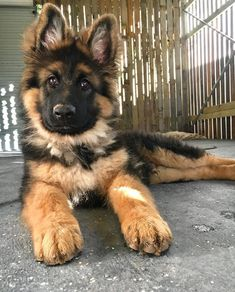 What a gorgeous puppy! via aww on September 06 2018 at Super Cute Puppies, Cute Baby Dogs, Cute Little Puppies, Super Cute Animals, Cute Dogs And Puppies, Cute Little Animals, Cute Funny Animals, Doggies, Cutest Animals