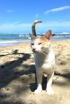 My Dominican Republic beach cat friend is so fine! I go see him every day. Best vacations always include the local cats!  More beach cats at http://www.traveling-cats.com