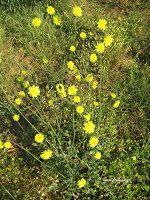 Dandelions in North Marine Park in South Shields Herbs, Park, Garden, Flowers, Plants, Dandelions, Garten, Lawn And Garden, Herb