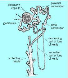 Veterinary Anatomy Online - The urinary system