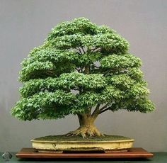 "Ruchi Bansal   Bonsai tree !  Bonsai"" is a Japanese pronunciation of the earlier Chinese term penzai. A ""bon"" is a tray-like pot typically used in bonsai culture.[2] The word bonsai is often used in English as an umbrella term for all miniature trees in containers or pots. This article focuses on bonsai as defined in the Japanese tradition."