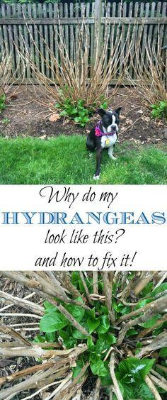 Do your hydrangeas look like dead brown sticks? Tips to make them thrive kellyelko.com