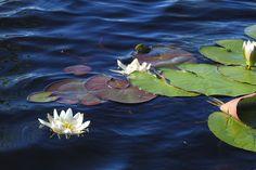 Water-lilies in Juuka, Eastern Finland