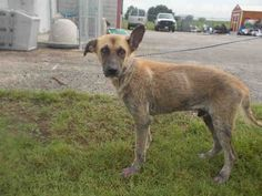 10/17/16-This DOG - ID#A008317 I am a male, tan and black German Shepherd Dog. The shelter staff think I am about 1 year and 2 months old. I have been in shelter care since Aug 16, 2016. This information was refreshed 4 minutes ago and may not represent all of the animals at the Fort Bend County Animal Services Shelter.