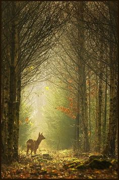 peaceful forest with a deer. A deer (killed) was mentioned. All Nature, Amazing Nature, Nature Tree, Photo Animaliere, Walk In The Woods, Wild Life, Belle Photo, Beautiful World, Beautiful Forest