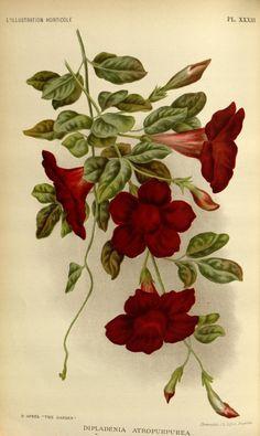 Dipladenia Atropurpurea, v.42 (1895) - L'Illustration horticole : - Biodiversity Heritage Library