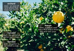 Lemon trees in an orchard. The lemons look ready for harvesting.