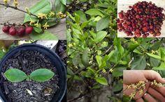 Coastal Canthium Supple Jack Cyclophyllum Coprosmoides Seeds