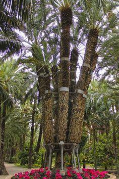 Palmera Imperial con 7 brazos; Este grupo de palmeras tiene 170 años y su nombre se lo puso la la emperatriz Sissi de Austria en una visita a Elche en 1894, Elche, Spain.