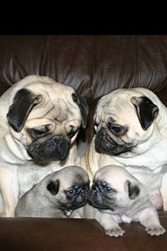Puggy family ❤