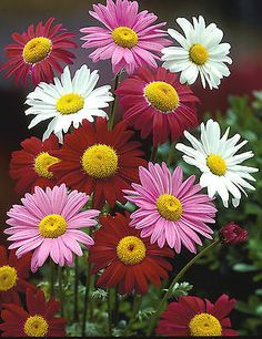 Pyrethrum Seeds ★ Painted Daisies ★ Tricolor Mix ★ Perennial Flower ★ 25+ Seeds