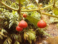 Rojo el fruto