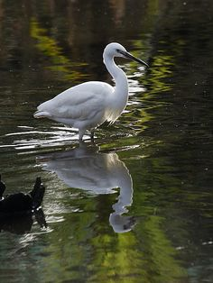 I think I saw one of these earlier on the Torridge in North Devon, it was a heron like white bird and I can't find any others that are similar