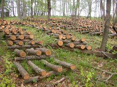 shiitake mushroom logs in our woods   by deblentz