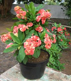 Here in this article we shared the detailed information about euphorbias or crown of thorns which is used as air-purifying plant and as ornamental plants to decor your home. Creepers Plants, Flowers Perennials, Red Plants, Euphorbia Milii, Perfect Plants, Ornamental Plants, Planting Herbs, Crown Of Thorns Plant, Plants
