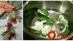 V máji majú najväčšiu silu: Odtrhnite si tento mesiac pár malinových listov a len zalejte – toto je najlepší pomocník každej ženy! Edible Flowers, Kraut, Korn, Celery, Cabbage, Remedies, Food And Drink, Herbs, Vegetables