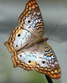 My race is Human Beautiful Bugs, Beautiful Butterflies, Animals Beautiful, Cute Animals, Butterfly Drawing, Butterfly Wallpaper, Colorful Moths, Butterfly Species, Flying Flowers