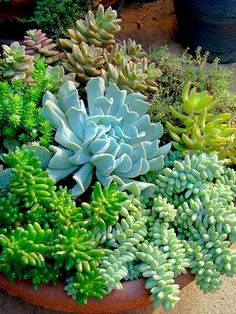 Green and blue succulents