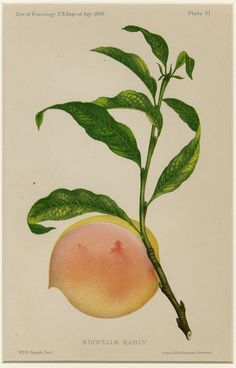 Antique Botanical Print Bidwells Early Peach Print C. 1888 Vintage Decor Matted 11x14""