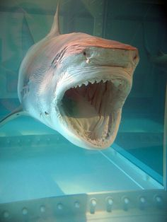 """Damien Hirst's Shark by allisonmeier, via Flickr.  Previous pinner said """"I saw this at the Metropolitan Museum in NYC....it fascinated me"""""""