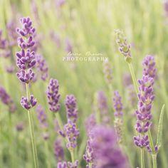 Lavender by MadSubstance.deviantart.com on @DeviantArt