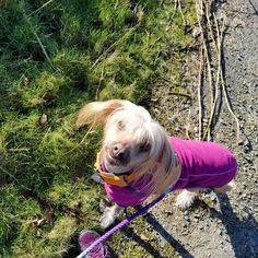 "Darby & Jello on Instagram: ""Just out enjoying some sunshine! ☆☆☆ #seattledogs #pnwdogs #lifeisbetternekkid #rescuedogs #theresalwaysroomforjello #crestedsofinstagram…"" Jello, Rescue Dogs, Seattle, Pitbulls, Sunshine, Animals, Instagram, Gelatin, Animales"