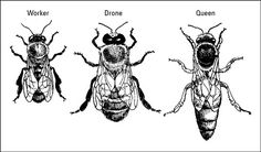 The different castes of bees A honey bee colony is composed of three types of bees, the worker bee, the drone and the queen. As with just ab. Drone Honey Bee, Types Of Bees, Bumble Bee Illustration, Queen Bee Tattoo, Different Bees, Bee Drawing, Drawing Tips, Drawing Ideas, Tatoo