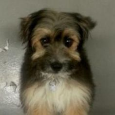 Cricket is an adoptable Yorkshire Terrier Yorkie Dog in Smyrna, GA. Cricket is an absolute hoot!  This soft yet scruffy puppy with melt your heart instantly.  At about 5 months old, she still has a lo...