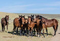Pine Nut Wild Horse Advocates © Mary Cioffi 2015
