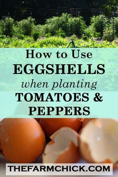 Learn how to make and use crushed eggshells in your garden to prevent blossom end rot in your tomatoes and peppers! Learn how to make and use crushed eggshells in your garden to prevent blossom end rot in your tomatoes and peppers! Growing Tomatoes In Containers, Growing Veggies, Grow Tomatoes, Growing Watermelons, Garden Tomatoes, Cherry Tomatoes, Egg Shells In Garden, Gemüseanbau In Kübeln, Home Vegetable Garden