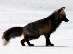 Beth's Excellent Adventures - Life in Yellowstone - Red fox sports a rare black coat in Yellowstone's LamarValley