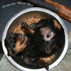 Rottweiler sleeping in his bowl