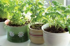 Learn how to grow herbs indoors with these indoor garden-growing tips. Indoor Garden, Garden Plants, Indoor Plants, Outdoor Gardens, Indoor Herbs, Fruit Garden, Indoor Outdoor, Easy Herbs To Grow, Growing Herbs
