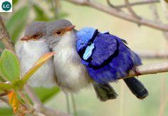 https://www.facebook.com/WonderBirds-171150349611448/ Thanh tước lộng lẫy; Họ Thanh Tước-Maluridae; Úc    Splendid fairywren/Blue wren (Malurus splendens); IUCN Red List of Threatened Species 3.1 : Least Concern (LC)(Loài ít quan tâm)