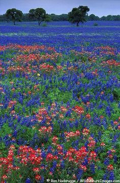Texas Bluebonnets in Hill Country - I Love Texas