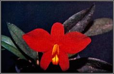 Orchid News # 37 - Brazilian Orchids