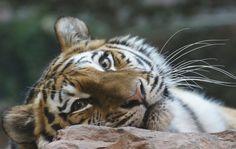 Tg Nbg Tiger                        150101 | by Eddy L.