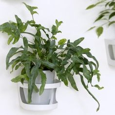 Kultaimarre - Kekkilä Houseplants, Herbs, Bags, Handbags, Indoor House Plants, Herb, Bag, Potted Plants, Totes