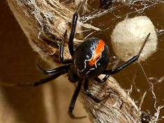 Katipo Spider of New Zealand