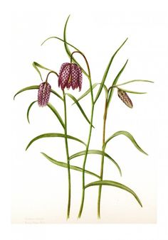 Fritillaria meleagris 2013 - Kathy Pickles