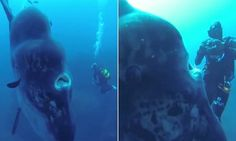 World's biggest bony fish gets its closeup: Divers are dwarfed by bizarre-looking 14ft Mola Mola as it poses for the camera   Read more: http://www.dailymail.co.uk/sciencetech/article-3460378/World-s-biggest-bony-fish-gets-closeup-Divers-dwarfed-bizarre-looking-Mola-Mola-poses-camera.html#ixzz4142x0E1y  Follow us: @MailOnline on Twitter   DailyMail on Facebook