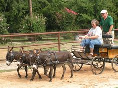 Courtesy: Rio Grande Mule & Donkey Association, Albuquerque, NM (USA).