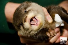 Four new otter pups at Woodland Park Zoo -- too stinkin' cute! Look at that smile!