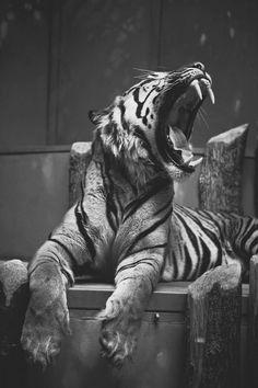 "animalsbuzz: "" Tiger 1 """